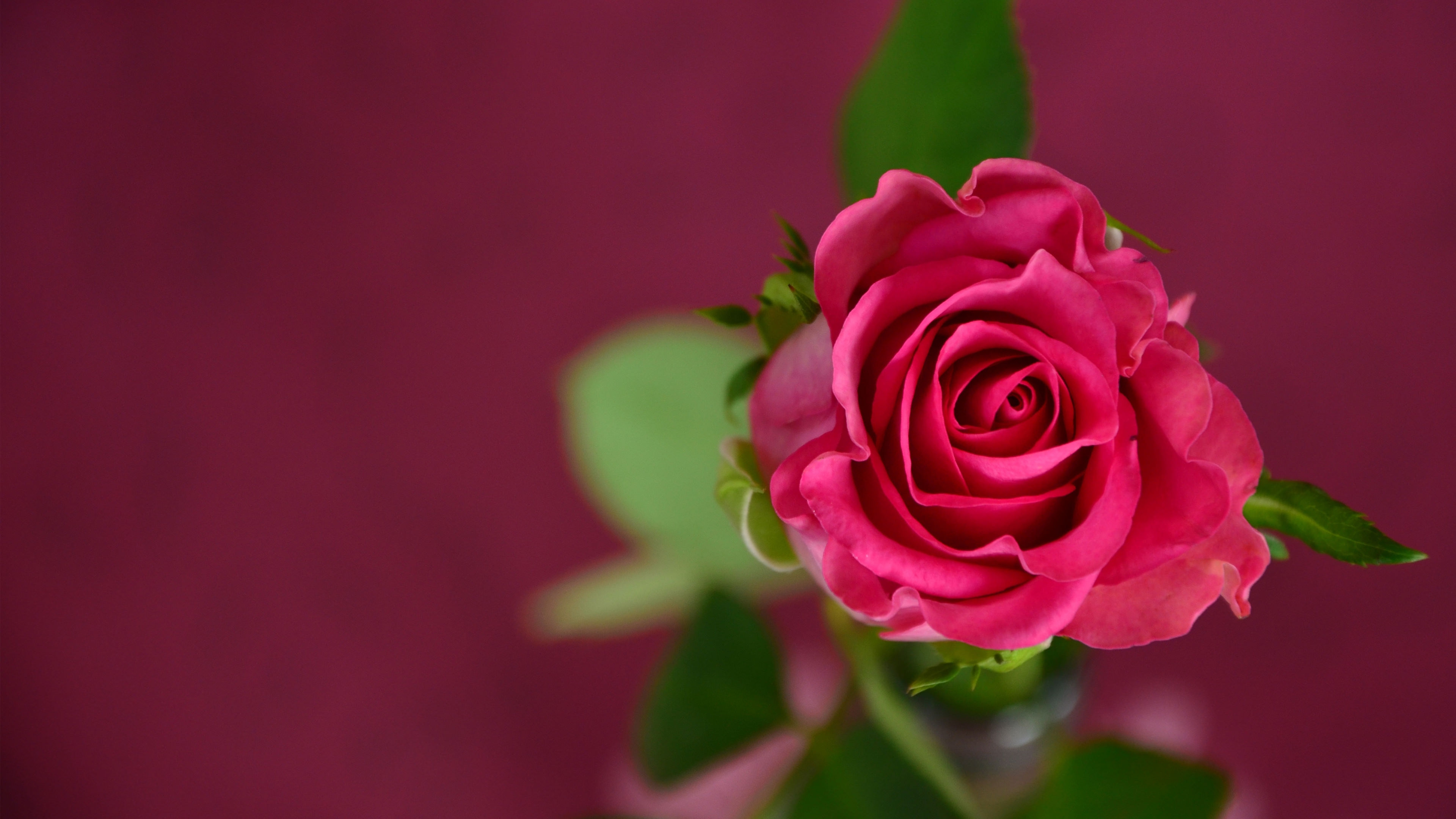 Pink Rose Wallpapaer For You