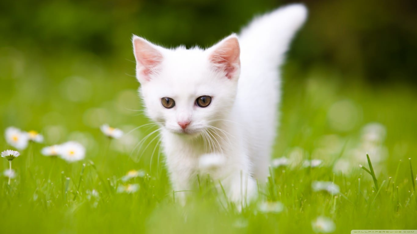 Pretty Cute White Kitten Wallpaper
