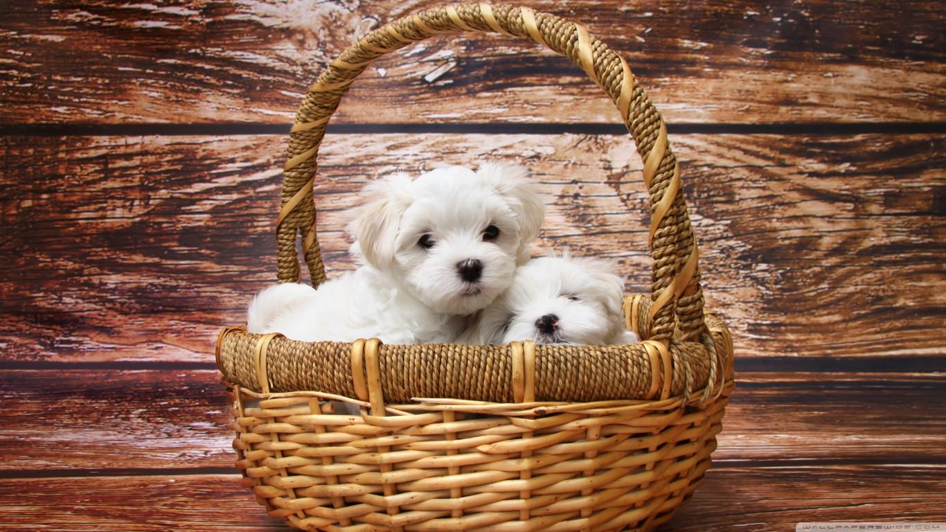 Pretty Maltese Puppies Wallpaper