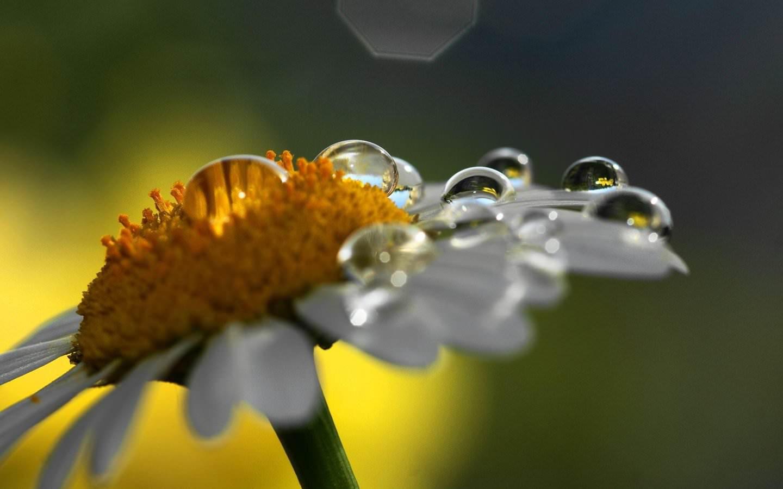 Rain Drop On Daisy Wallpaper