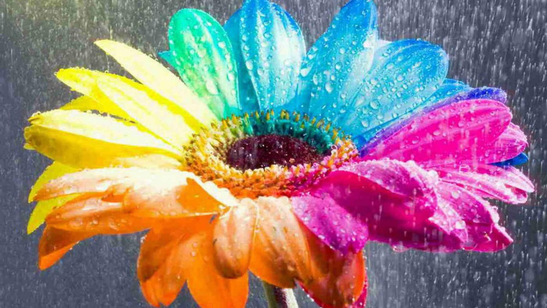 Rainbow Colored Daisy Wallpaper