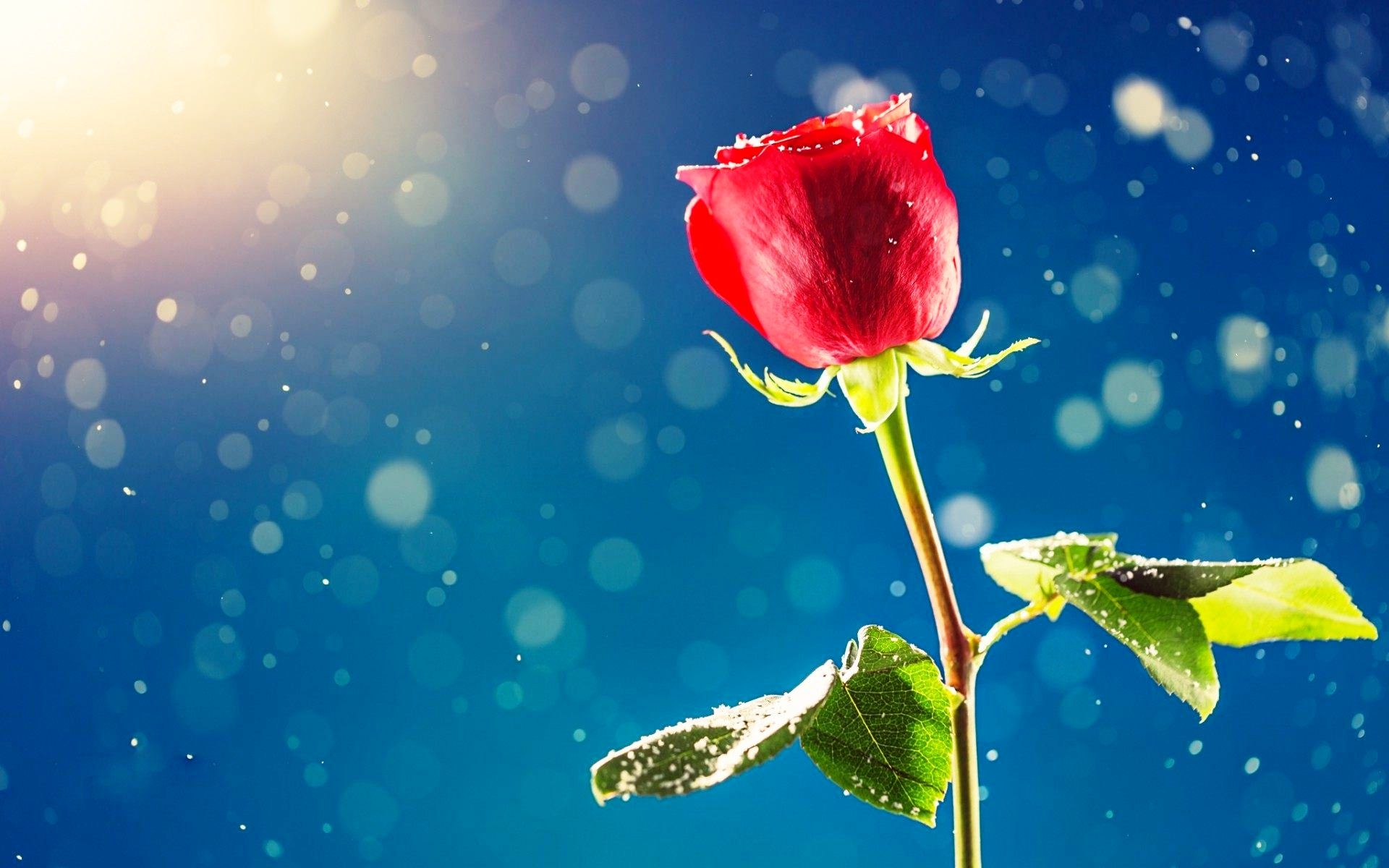 Red Rose Flower & Sunshine Wallpaper