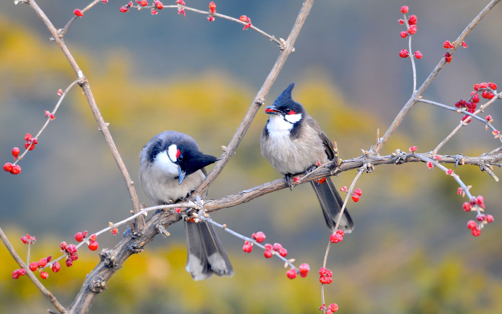 Red Whiskered Bulbul Wallpaper