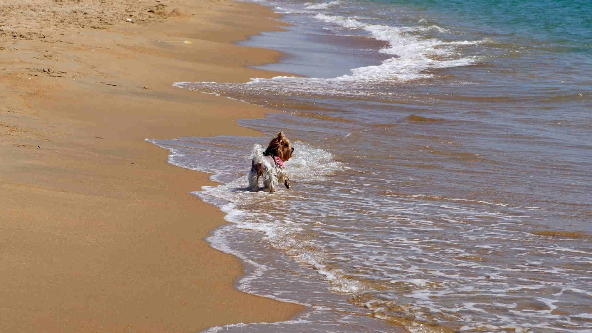 Sand Surf Beach Dog Wallpaper