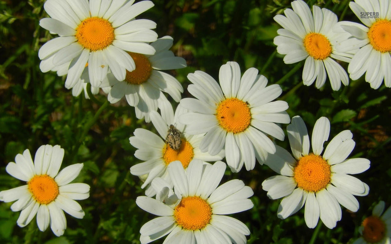 Small Bug On Daisy Wallpaper