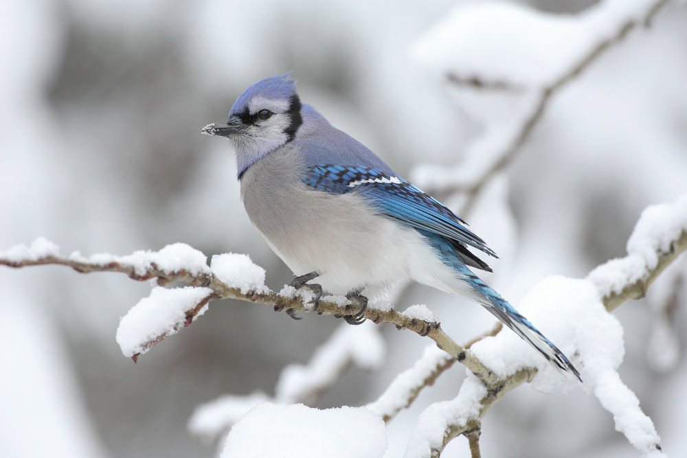Snowy Blue Jay Wallpaper