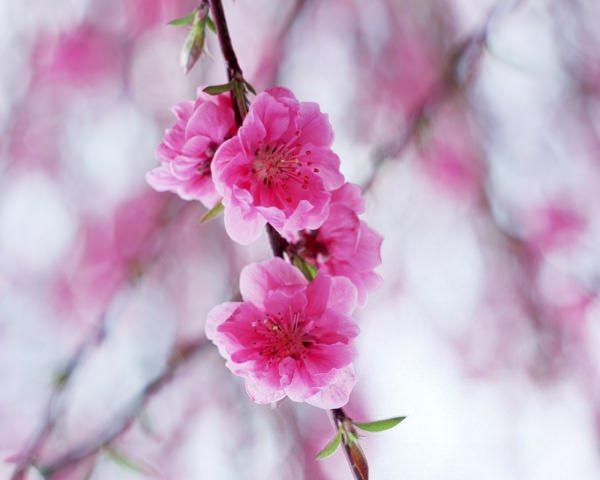 Spring Blossom Pink Background