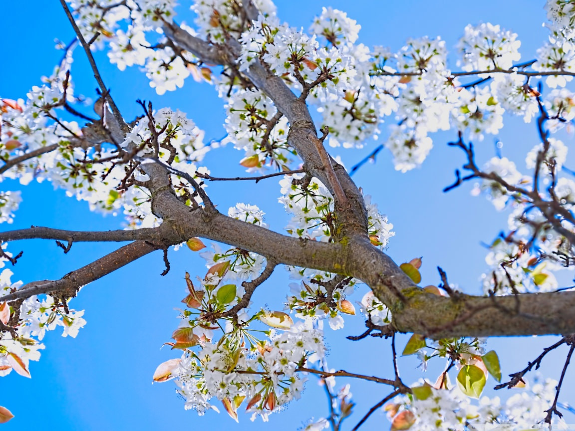 Spring Pear Tree Wallpaper