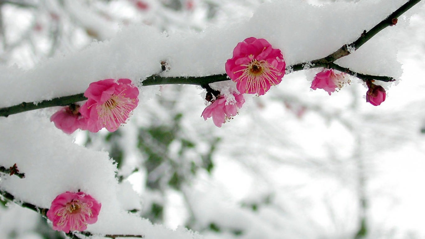 Spring Snow Flowers Wallpaper