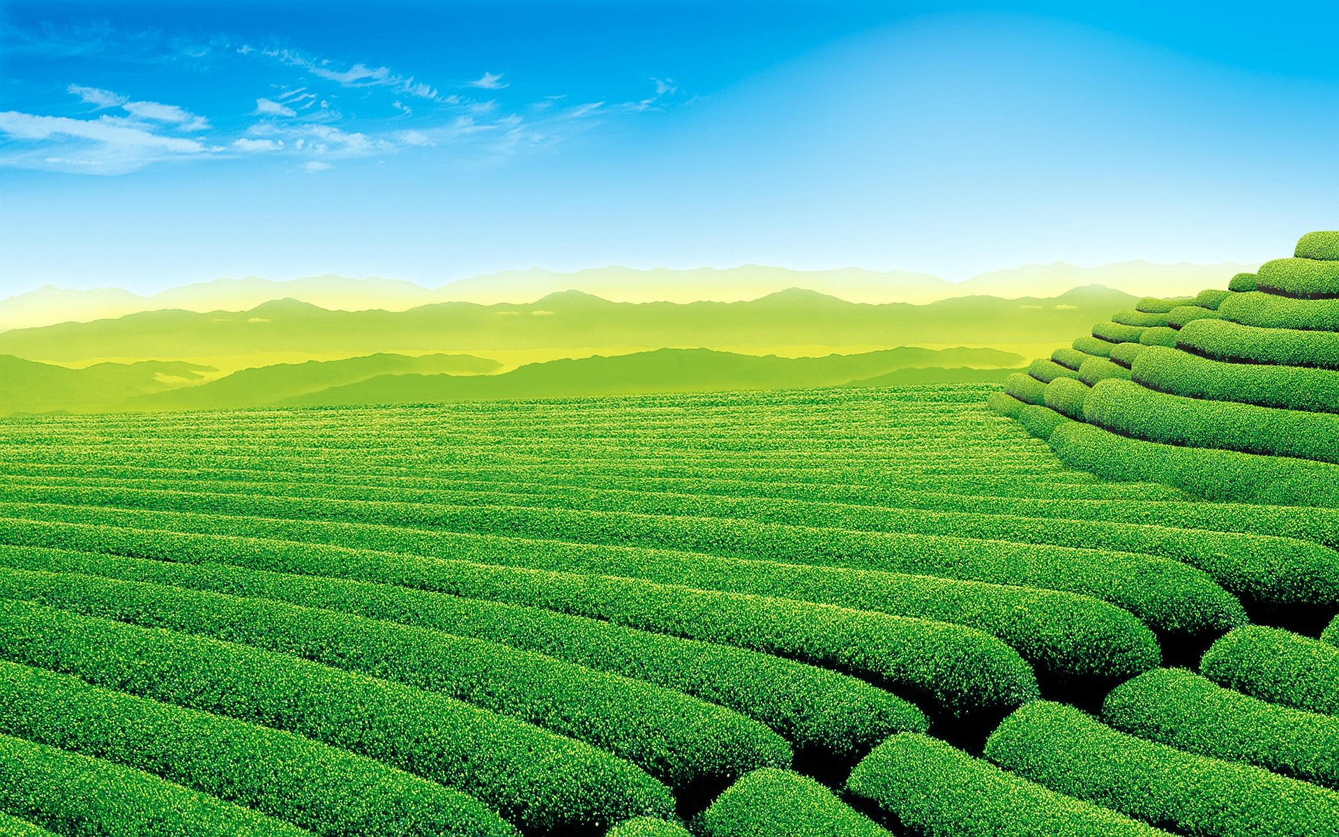 Tea  Garden Wallpaper