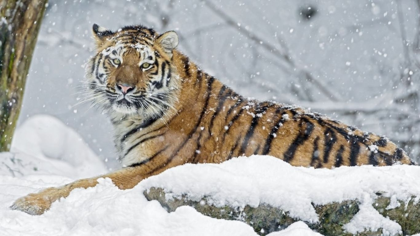 Tiger In Snowflake Wallpaper