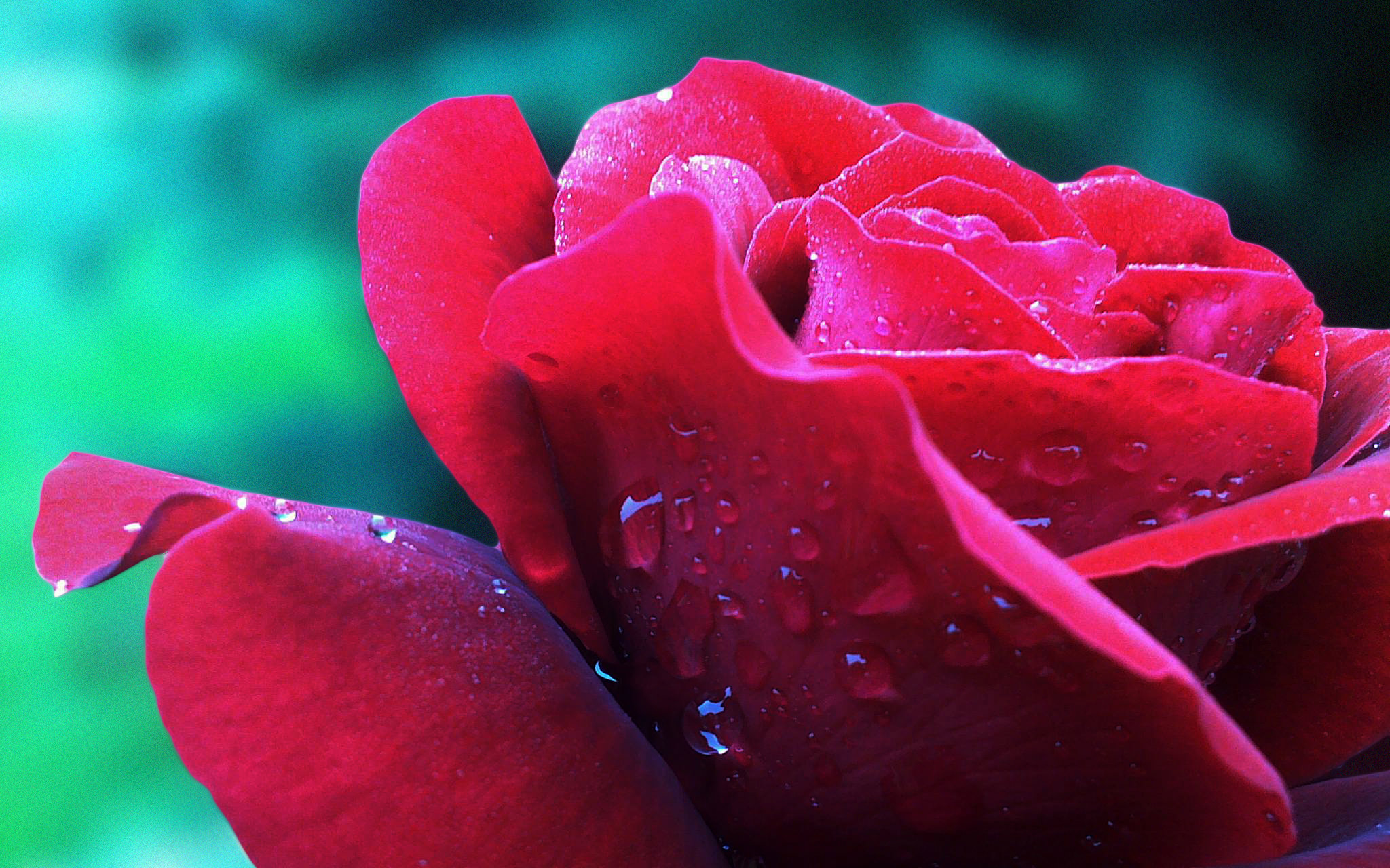 Water Drops on Rose Flower Wallpaper