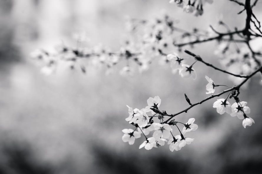 White Cherry Flowers Wallpaper