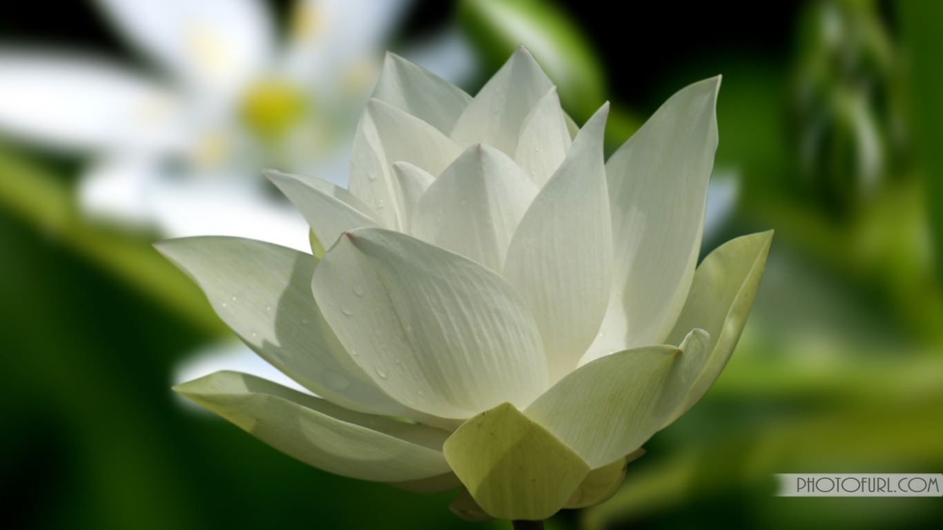 White Lotus Flower Wallpaper
