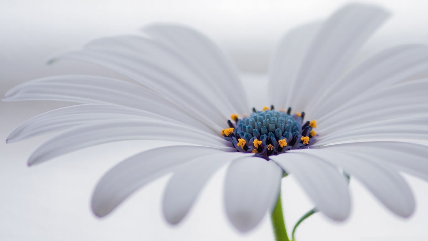 White Osteospermum Flower Wallpaper
