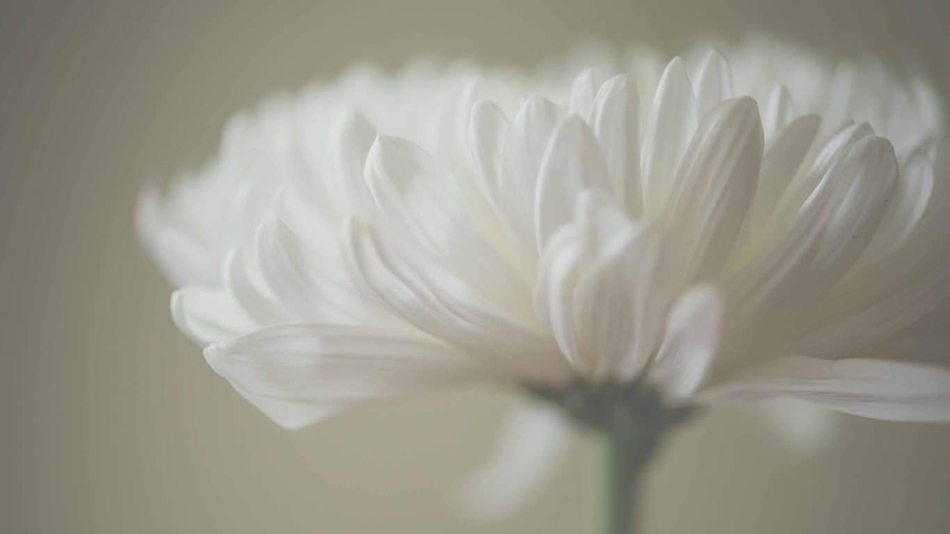 White Petals Mac Wallpaper