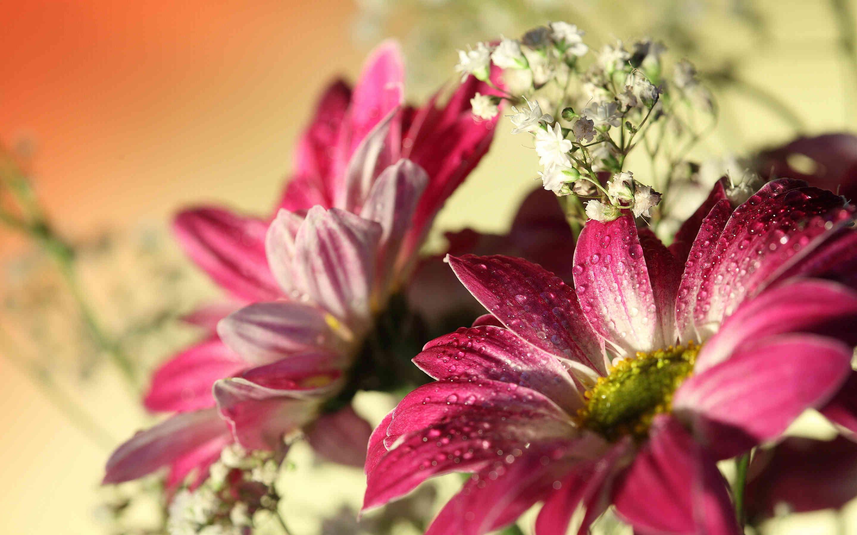 Widescreen Daisy Flower Wallpaper