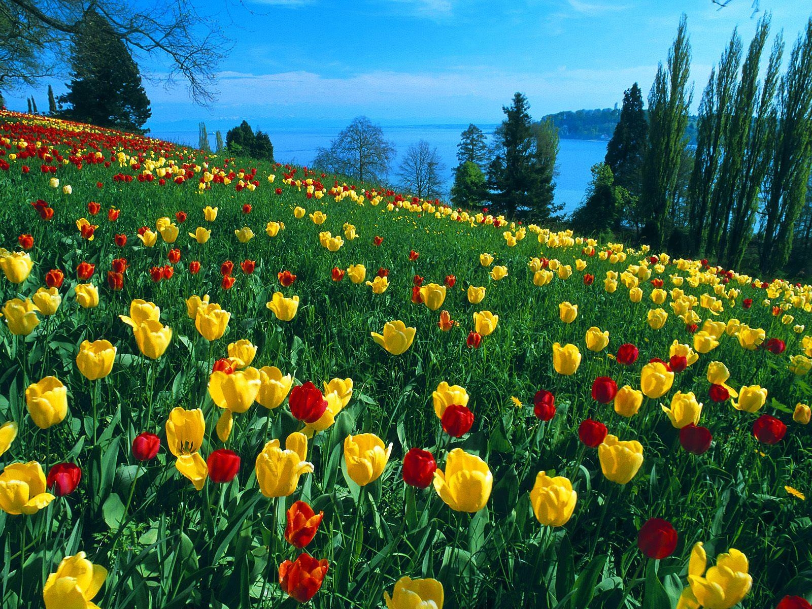 Yellow & Red Tulip Field Wallpaper