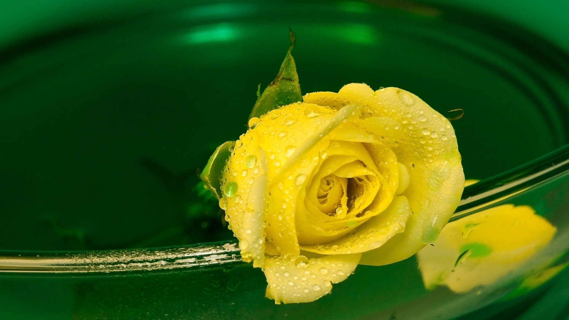 Yellow Rose Flower Wallpaper
