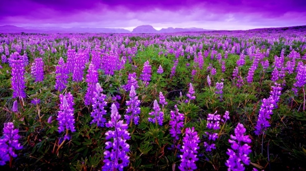 Fields Of Purple flowers Wallpaper