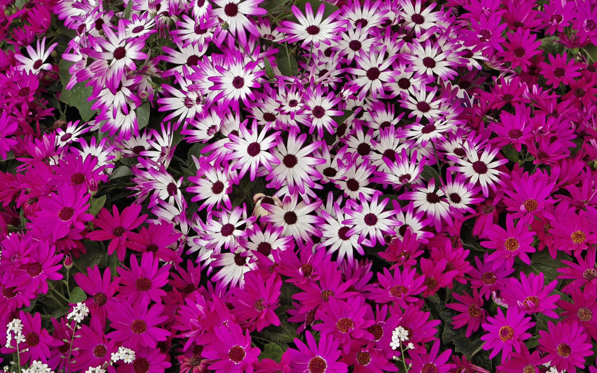 Hybrid daisies Purple Wallpaper