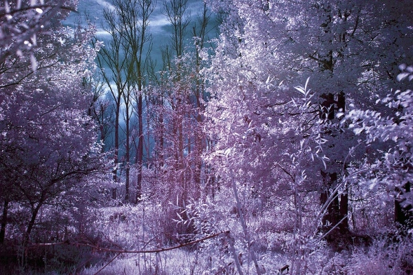 Infrared Tree Photography