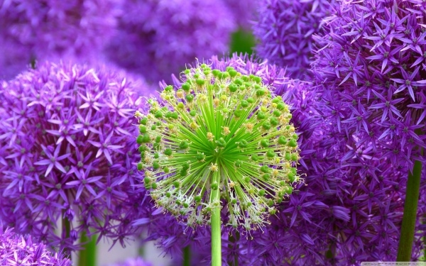 Purple Onion Flowers wallpaper