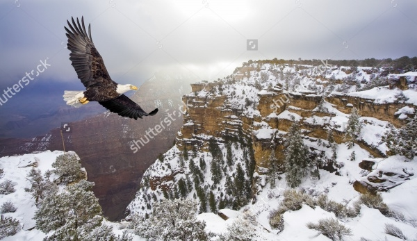 Bald eagle flying Photography