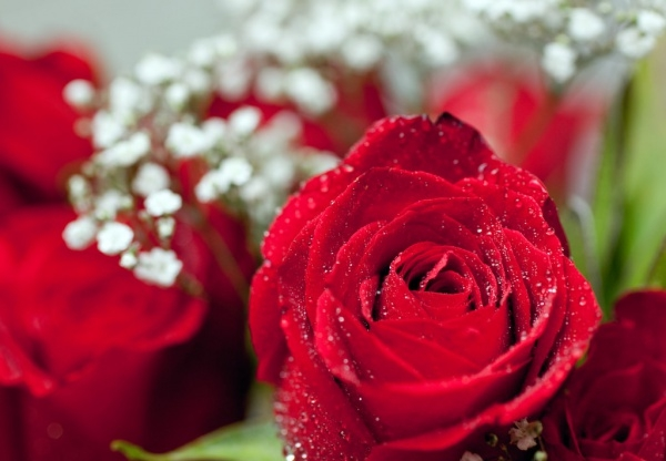 Beautiful Rose Photography