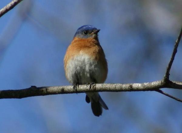 Eastern Blue Bird Photography