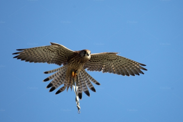 Falcon Photography