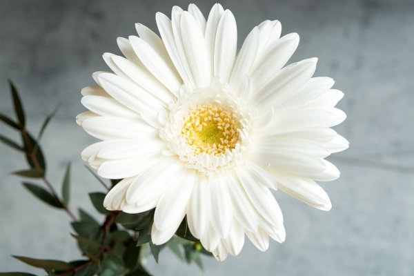 Gerbera White Flower Photography
