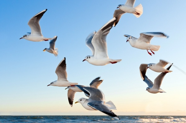 Gulls Bird Fly Photography