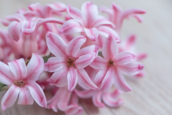 Hyacinth Flowers Photography
