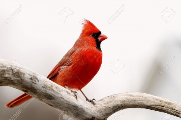 Male Cardinal Photography