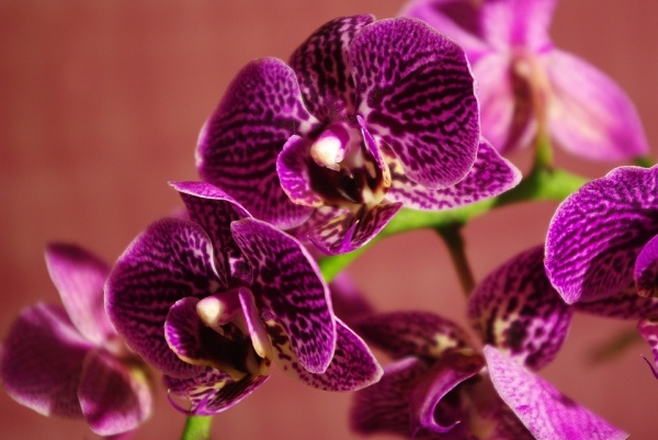Purple Orchid Blossom Photography