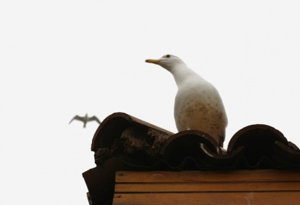 Seagull in a roof