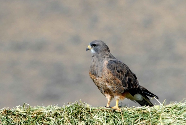 Swainson's Hawk Close-up Photography