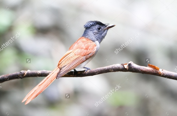 asian paradise flycatcher bird