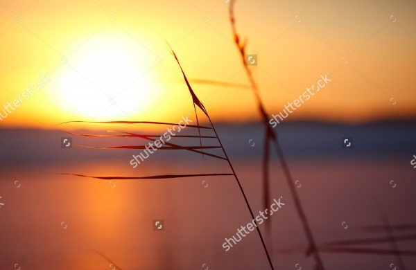 silhouette of reeds at sunset