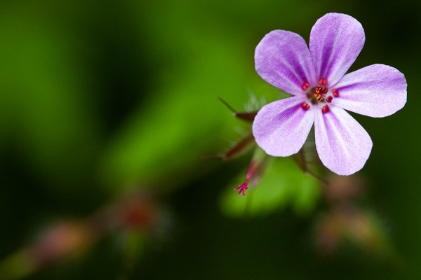 geranium robertianum Photography