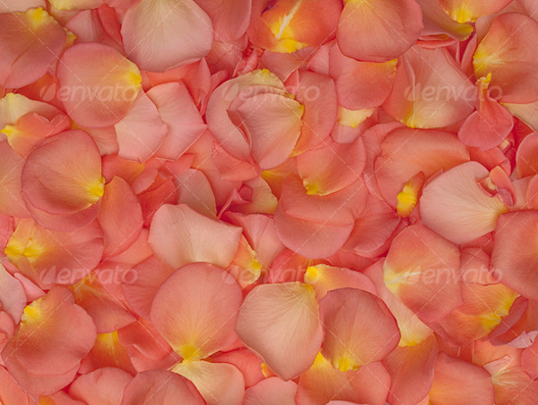 Beautiful Rose Petal Texture