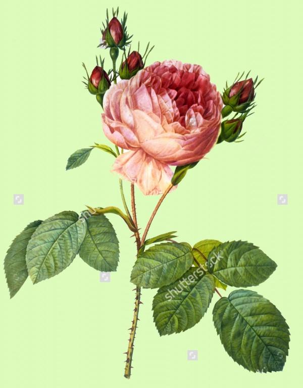Vintage Flower Plant Illustration
