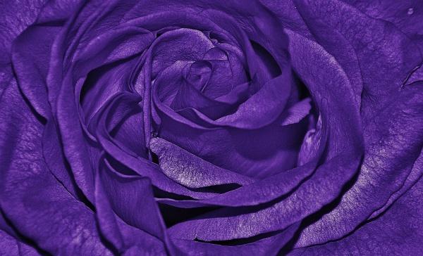 Macro Background Of Dark Purple Rose