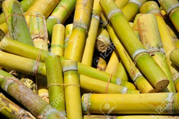 Yellow Sugar Cane Texture