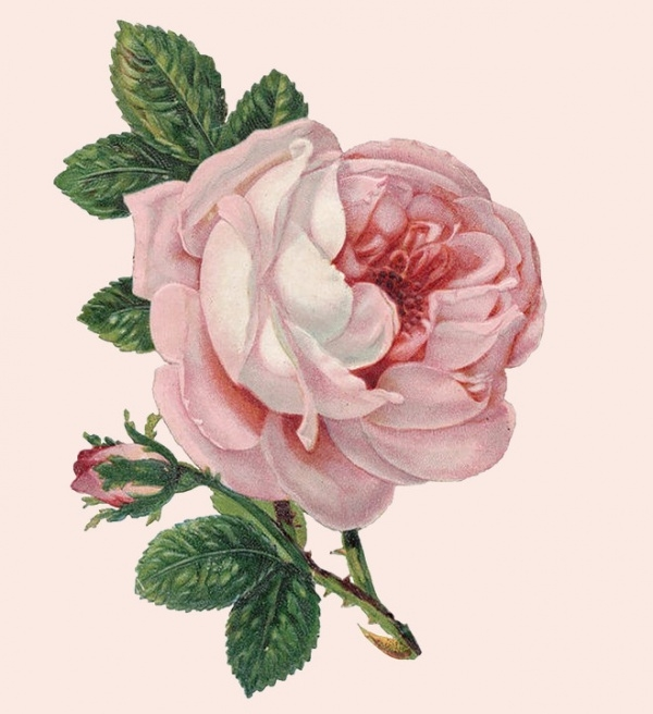 Blossom Rose Bud Illustration