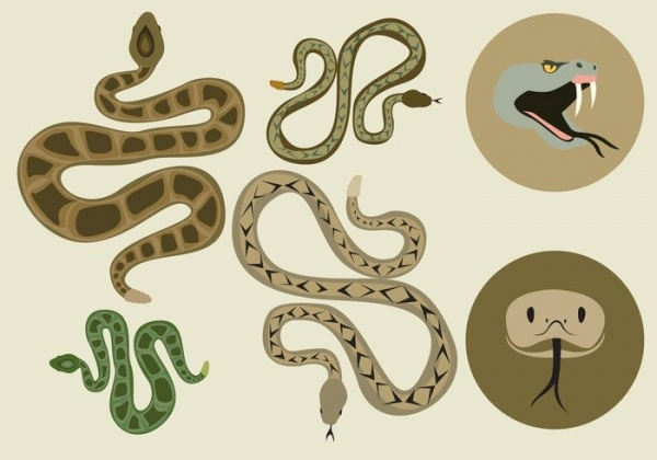 Multiple Coiled Rattlesnake Vector