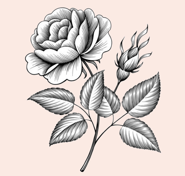 Vintage Rose Engraving Illustrative Vector
