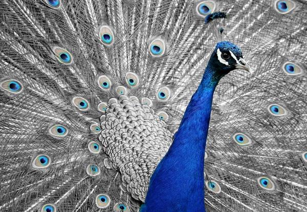 Royalty Free Peacock Image