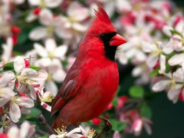 Free Winter Cardinal Wallpaper